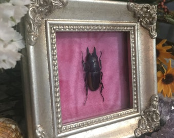 Framed Real Stag Beetle Insect