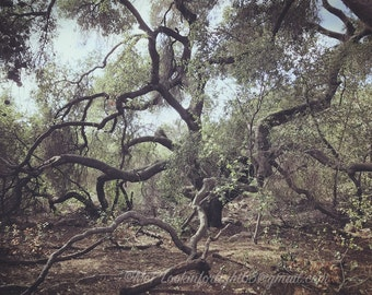 Tree Photography | Live Oak Tree Print | Wild Tree | Nature Art | Live Oak | Woodland Photo | Trabuco Canyon | Orange County California Art