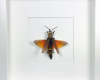 Colourfull Grasshopper Phymateus Aegrotus  Wooden Frame  Entomology  Insect Art
