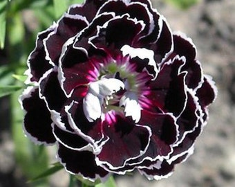 Dianthus plumarius Velvet n Lace 20 seeds