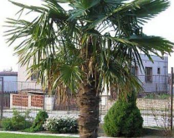 Trachycarpus fortunei Chusan Palm 10 seeds