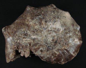 Fossil Ammonite Specimen- Mammites nodosoides - Upper Cretaceous- Morocco