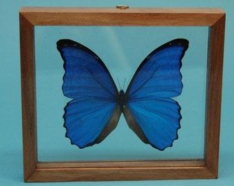 Framed Butterfly: Blue Morpho