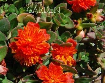Rare Summer Stars Purslane – Orange Color Blast Double Flower Fairy Tales Portulaca