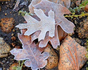 Frost on fall leaves, Frost in early fall, Frost leaves and rock, Cold morning