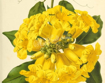 flowers-29771 - adenocalymna nitida yellow flower lianas vintage floral botanical book page illustration picture image graphics design shrub