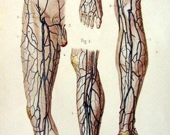 1852  Vintage Human foot and leg Anatomy color lithograph, original antique circulatory  system print engraving,  saphenous vein  medicine.