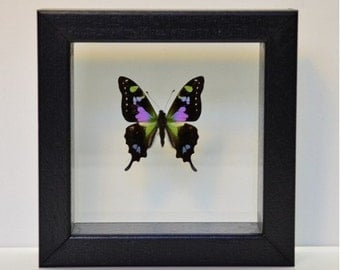 Graphium Weiskei in double glass 16-16 cm