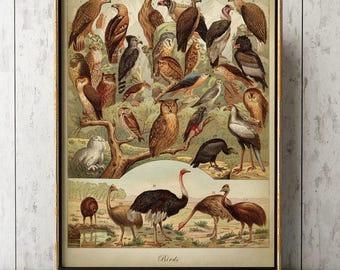 BIRD Chart, Bird Poster, Bird Print, Owl Print, Bird Species Scientific Illustration, Eagle Print, Ostrich Print, Wall Art, Bird Art