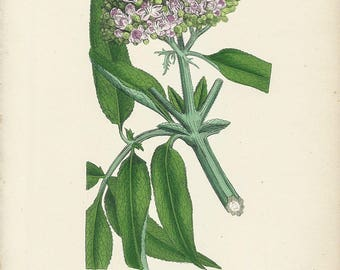 Enchanting Antique Botanical Print by John SOWERBY, SAMBUCUS EBULUS, Danewort, 1859, Hand colored print