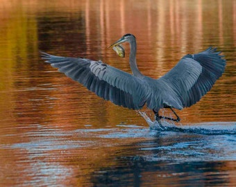 Great Blue Heron catches Dinner - 5146