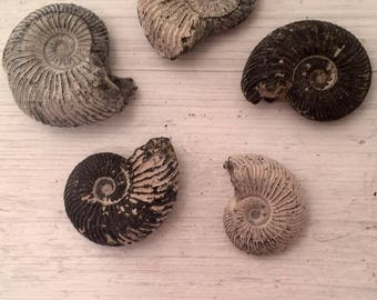 Collection of Five Ammonites