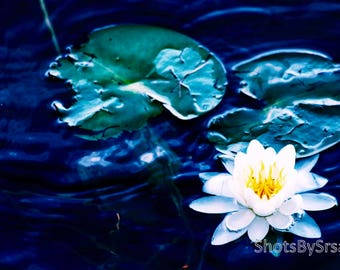 White Water Lily Print- Water Lily Photo, ShotsBySrsan