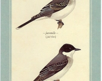 Eastern Kingbird Postcard by David Sibley to Frame, Mail or use in Paper Arts and Mixed Media Projects PSS 3037