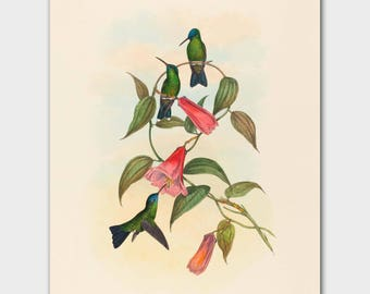 "Hummingbird Art (Living Room Wall Decor, Bedroom Print) John Gould Botanical Bird Art --""Wood Nymph"""
