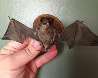 Mounted Scary Bat - Taxidermy Trophy Mounted Preserved Specimen