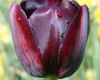 """BST) 5~""""QUEEN of NIGHT"""" Tulip~Bulbs!!~~~~~~Great Accents!"""