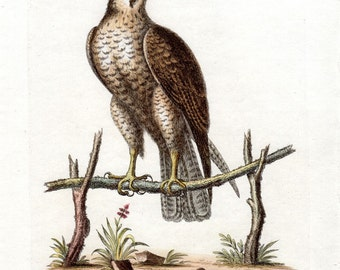1743 Spotted Hawk Antique Hawk Print George Edwards Hand Colored Copper Plate Bird Engraving Vintage Bird Print