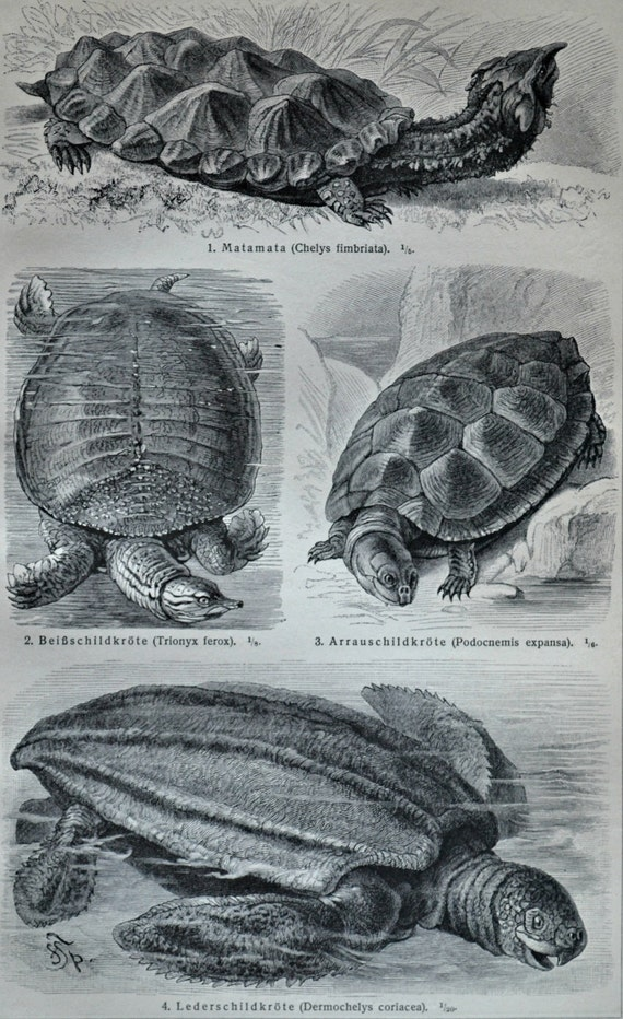 Turtles print.  Florida softshell turtle engraving. Old book plate, 1904. Antique  illustration. 113 years lithograph. 9'6 x 6'2 inches.