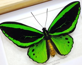 FREE SHIPPING Real Framed Ornithoptera Priamus Poseidon Common Green Birdwing Butterfly Taxidermy High Quality A1/A1-