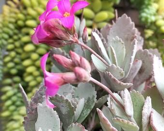 Kalanchoe Frosty Pink/Indoor plant/succulents/outdoor plant/succulent/succulent garden/succulent arrangement/succulent wedding/live plants