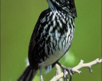 16x24 Poster; Dusky Seaside Sparrow (Ammodramus Maritimus Nigrescens)