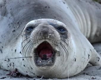 Sea Lion #5, seal photo