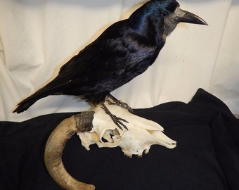 Taxidermy  rook on rams real rams skull 12 days to send ship out from pament received