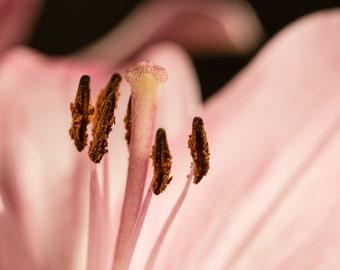 Amaryllis Macro1