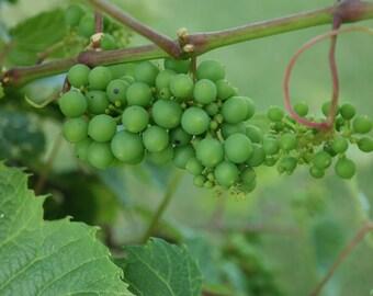 Digital Download, Photography, Green Grapes