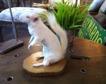Boris, the rare albino British squirrel