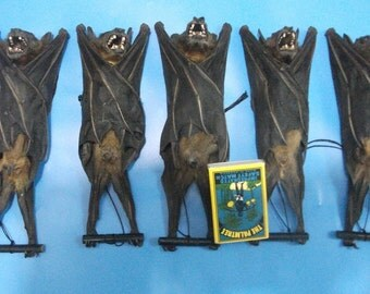 Taxidermy Real fruitbat hanging bats Lesser short nosed fruit bat lots 5 pcs