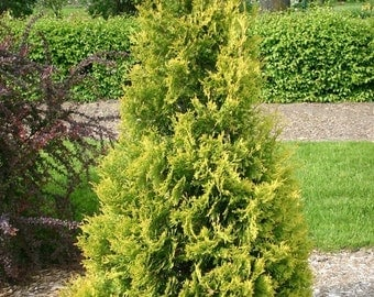 Yellow Ribbon Arborvitae, Thuja Occidentalis 'Yellow Ribbon' 1 Gallon Potted Plant, Landscaping, Healthy Plants, Evergreen, Shrub
