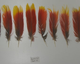 Set of CHEAP IMPERFECT Eclectus Parrot Tail Feathers 4 to 6 inches Red & Yellow