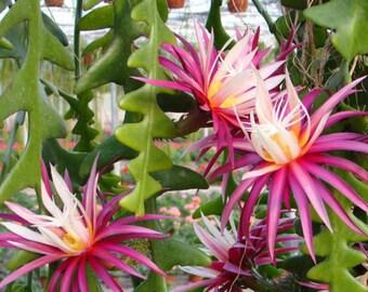 Fishbone Cactus Cutting \\ Orchid Cactus \\ Zig Zag \\ Ric Rac \\ Rare Cactus \\ Transplant