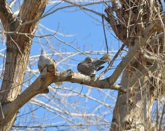Doves, Bird, Tree,  Wings,   Fine Art Photography, Home Decor, Wall Art, Canvas Gallery Wrap
