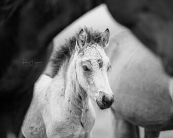 Rafnar Icelandic Foal - Fine Art Horse Photograph Print (Black & White) (Wall Decor, Equine Art, Horse photography)