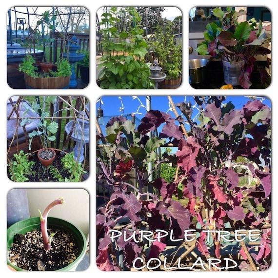 Organic Purple tree collard perennial (kale)