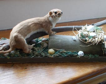 Vintage Taxidermy Weasel on a traditional, natural base