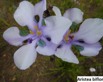 Aristea biflora [RARE] [CLEARANCE Sale] / 5 seeds