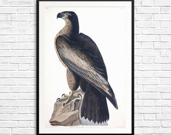 Bird of Washington, Birds of America, John Audubon, Audubon Society, falcon art, falcon posters, Audubon posters, Audubon prints, fine art