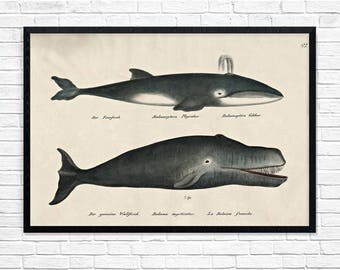 Whale Poster Illustration, Whale Art, Whale Poster, Vintage Whale Illustration Wall Art Poster, Whale, Antique Decor, Nursery, Nursery Art
