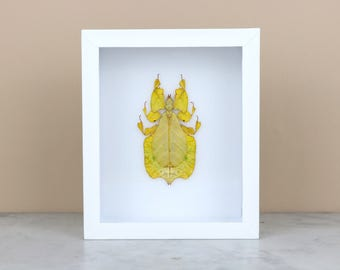 YELLOW LEAF INSECT in black or white frame (Phyllium Pulchrifolium)