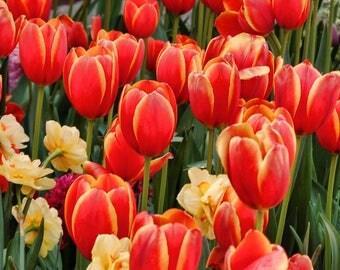 Tulips on Fire (digital download)