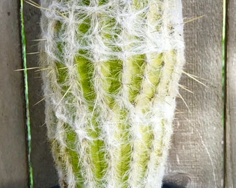 Old Lady Cactus-Succulent