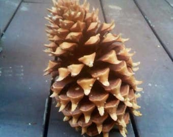 "12"" Coulter ""Widowmaker"" Pine Cone"