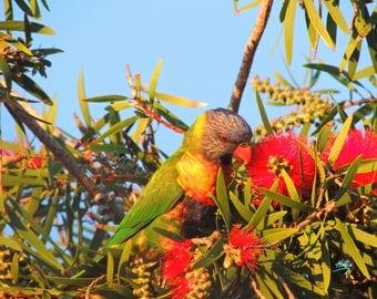 Lorikeet in Wattle Tree 1
