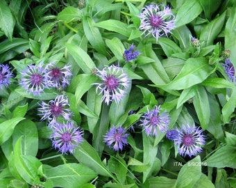 Bachelor Button. 6 Live plants. Perennial. Blue flowers. Full sun/ part shade.