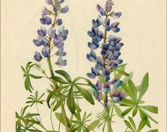 Vintage 1953 Wild Lupine Botanical, Floral Print for Framing, American Wildflower