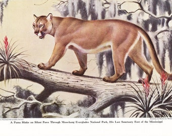 1940s Florida Puma Mountain Lion Cougar Print -  Vintage Antique Animal Zoology Zoo Cat Home Decor Book Plate Art Illustration for Framing